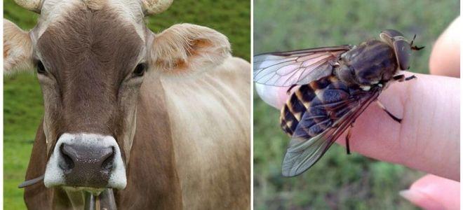 Cum de a trata o vaca de la gadflies si gadflies la domiciliu