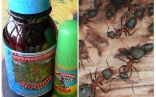 Înseamnă rezidentul de vară din furnici