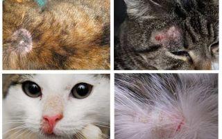 De ce are o pisică mâncărime dacă nu există purici