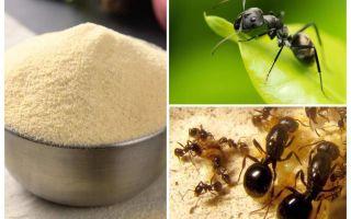 Manca de la furnici din grădină