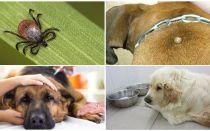 Simptomele și tratamentul piroplasmozei la câini