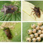 Bug-uri de pădure