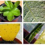 Negru în plante de interior