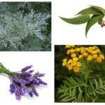 Plante din purici