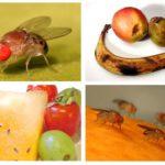 Muște de fructe