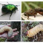 Larva din gândacul mai și Medvedka