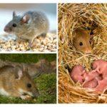 Stilul de viață al mouse-ului