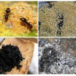 Rețete populare din furnici