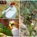 Produse chimice împotriva gândacului de cartof Colorado