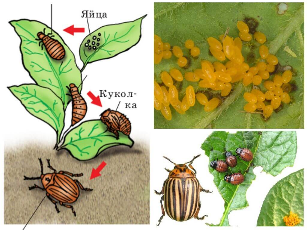 Ciclul de viață al gândacului de cartof colorado