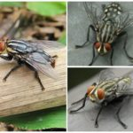 Human Skin Gadfly