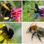Speciile de specie bumblebe