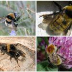 Bumblebees cu o nuanță gri