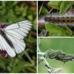 Caterpillar și păducelul fluturelor