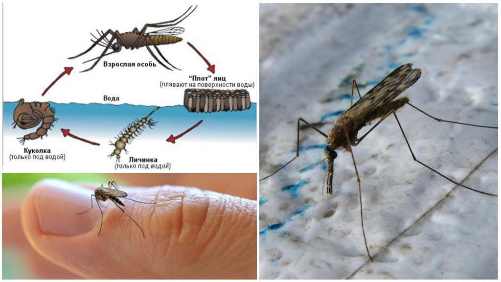 Ciclul de reproducere al țânțarului Anopheles