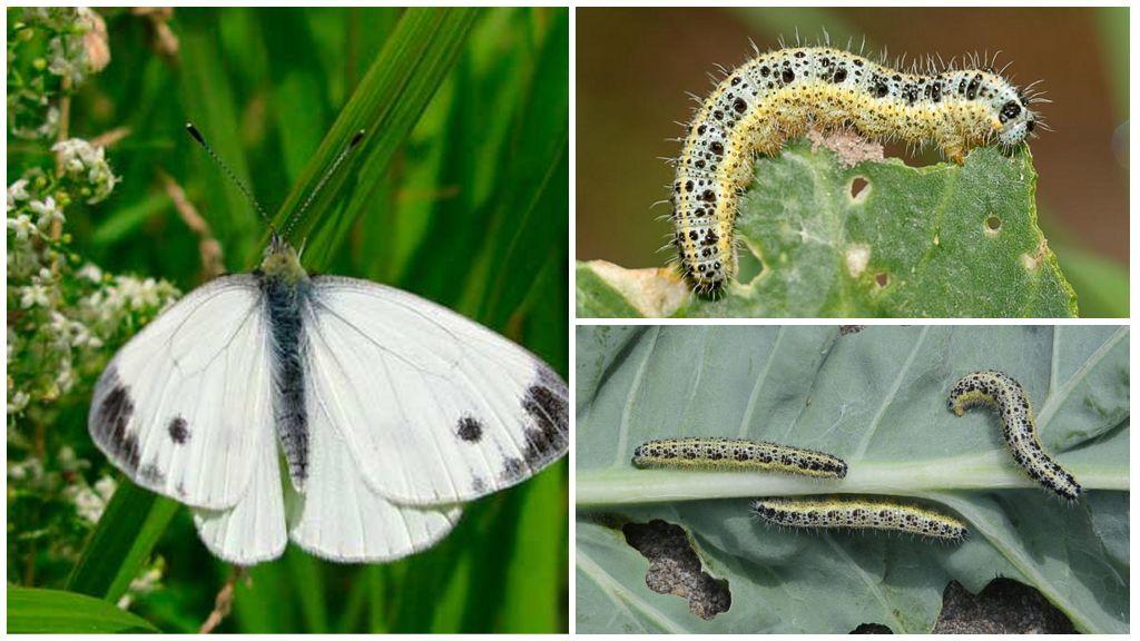 Varza Caterpillar
