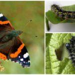Hrănitorii fluture Amiral