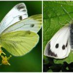 Butterfly Varza