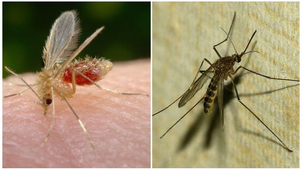 Mosquito și țânțar