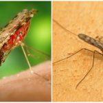 Malariei țânțar