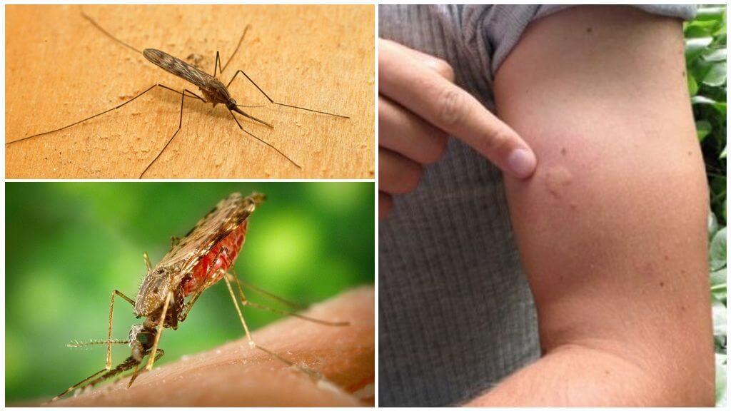 Mosquito țânțar muscatura