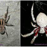Spiders australia